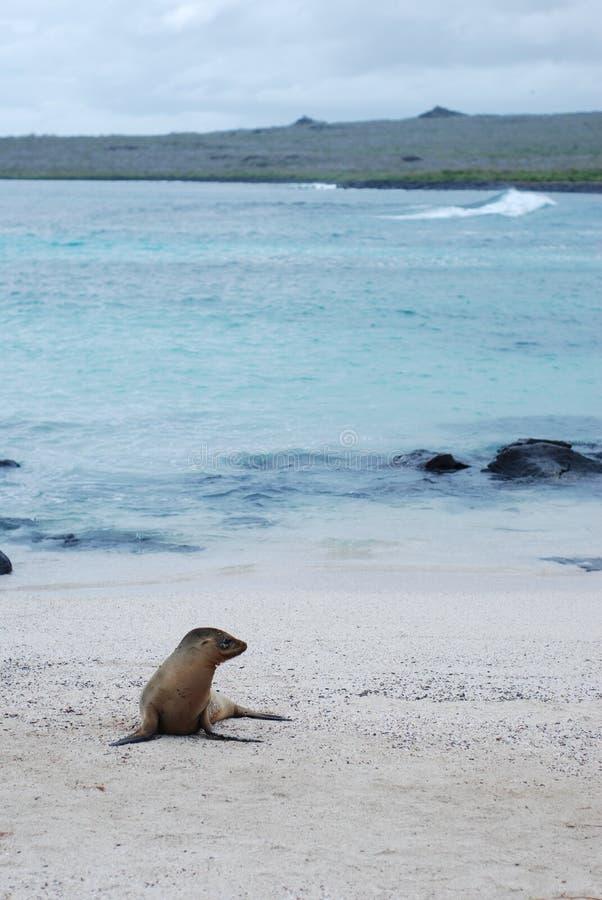 León de mar de las Islas Gal3apagos imagen de archivo libre de regalías
