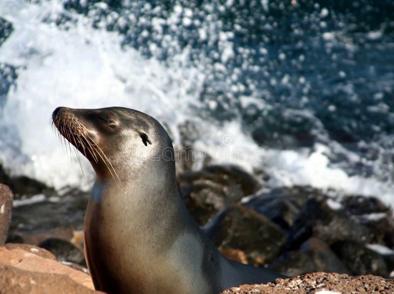 León de mar de las Islas Gal3apagos foto de archivo