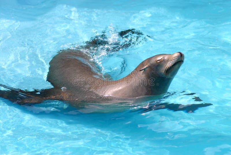 León de mar en el agua foto de archivo