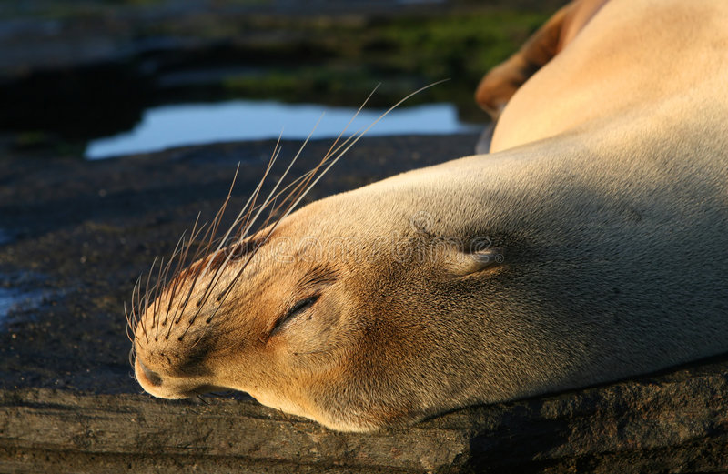León de mar joven fotos de archivo