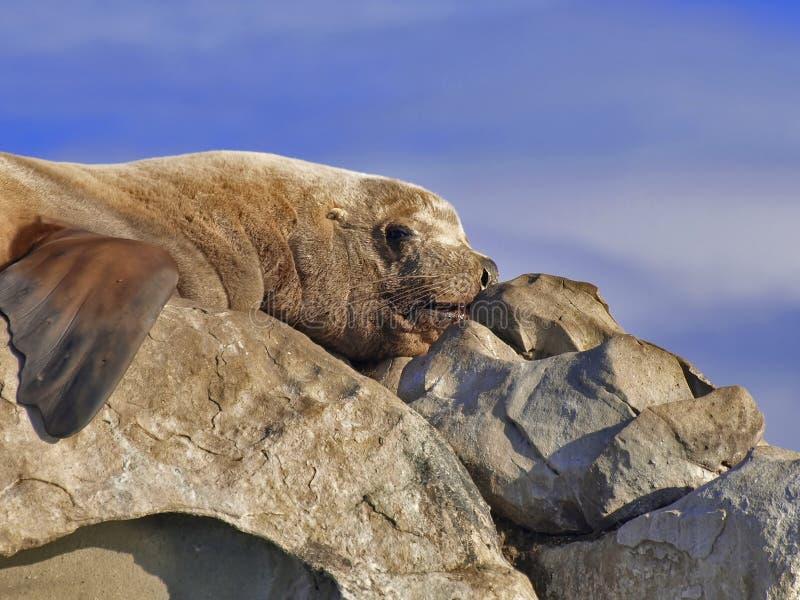 León de mar salvaje de Steller imagenes de archivo