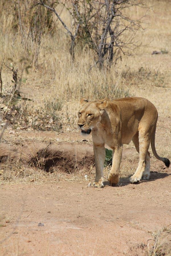 León debajo del árbol en el parque nacional del ruaha foto de archivo
