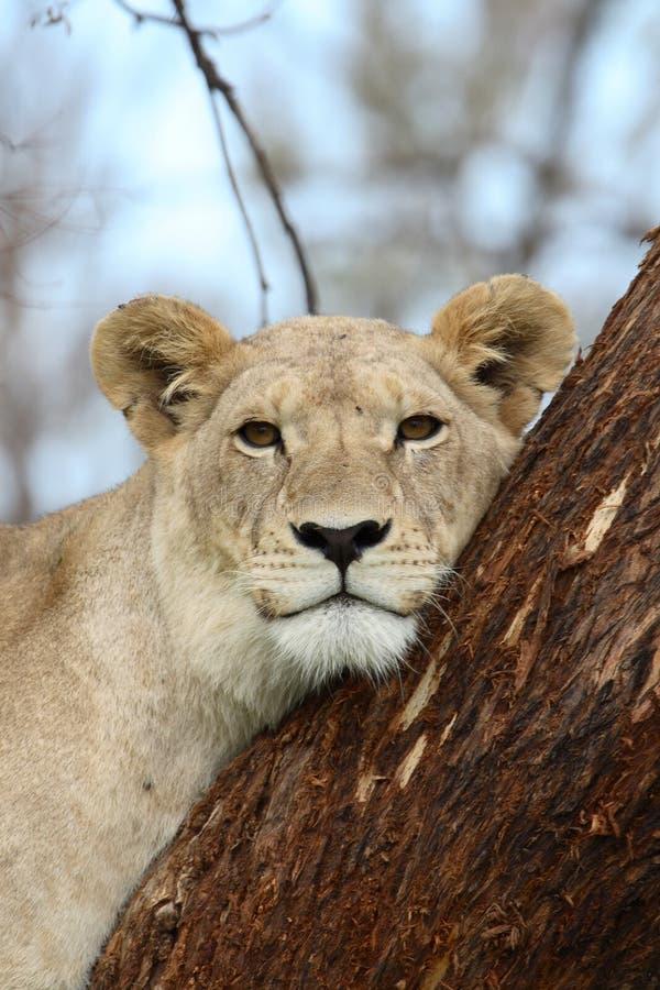 León del árbol foto de archivo