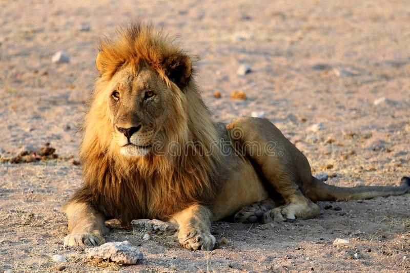León del safari - Namibia África fotos de archivo libres de regalías