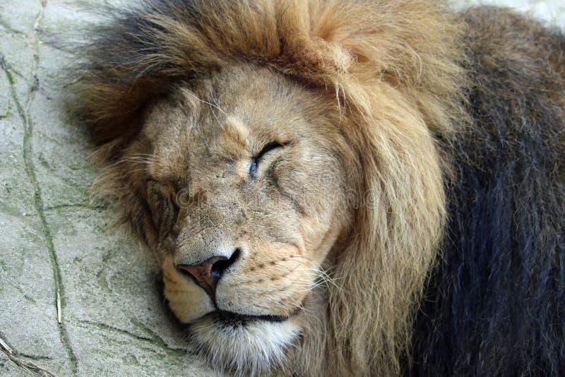 León del varón adulto dormido fotos de archivo