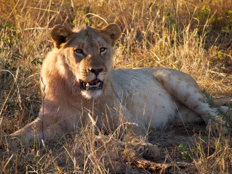 león del varón del Sub-adulto fotos de archivo