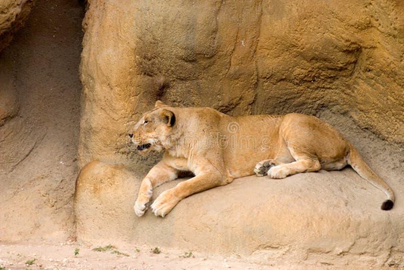 León en descanso fotografía de archivo