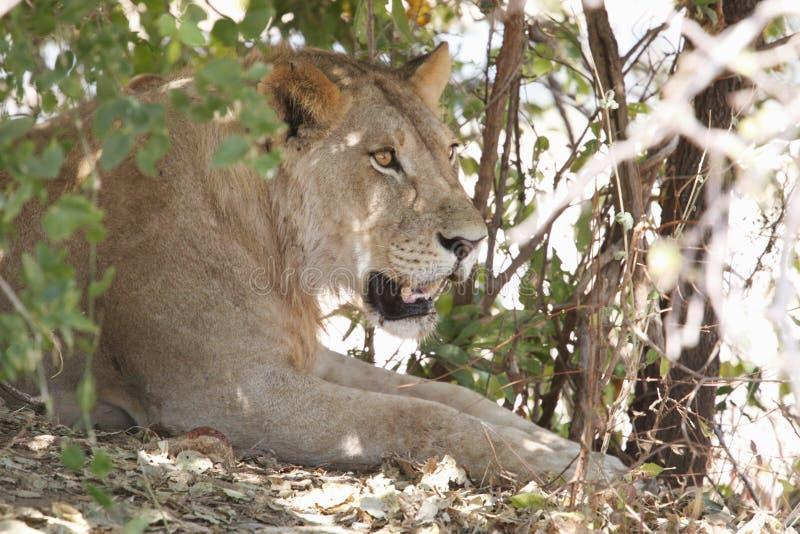 León en el parque nacional de Ruaha, Tanzania imagen de archivo libre de regalías