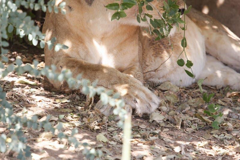 León en el parque nacional de Ruaha, Tanzania fotografía de archivo