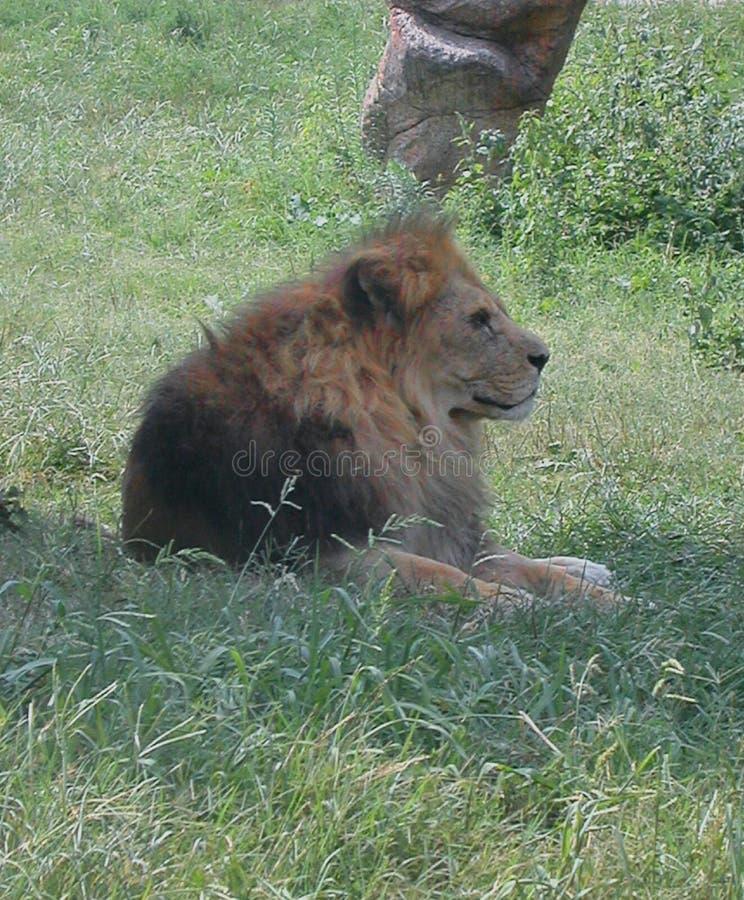 León en el parque salvaje Natura Viva, Bussolengo, Italia imagenes de archivo