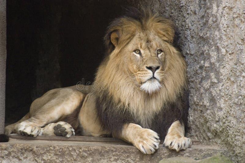 León en el parque zoológico imagen de archivo