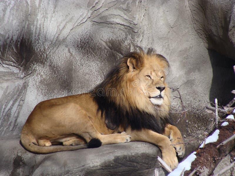 León en el parque zoológico de Detroit foto de archivo