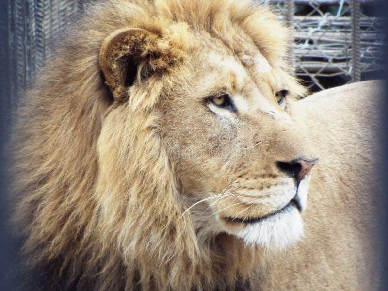 León en el parque zoológico de Tbilisi fotos de archivo libres de regalías