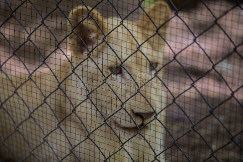 León en la jaula imágenes de archivo libres de regalías