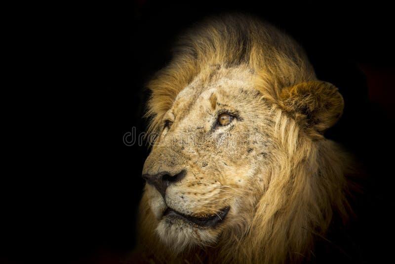 León en la noche, en el parque nacional de Kruger, Suráfrica imagen de archivo