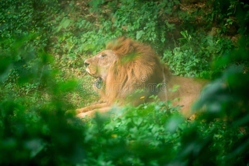 León en la selva imágenes de archivo libres de regalías