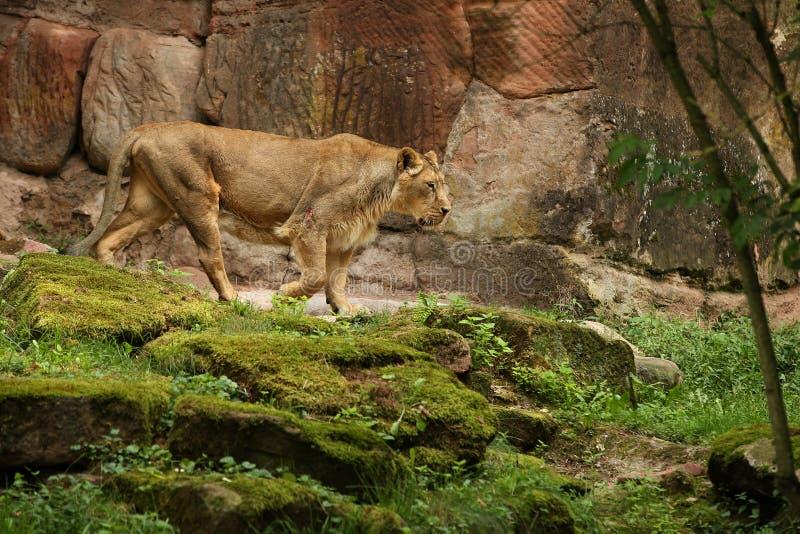 León en peligro hermoso en cautiverio imagenes de archivo
