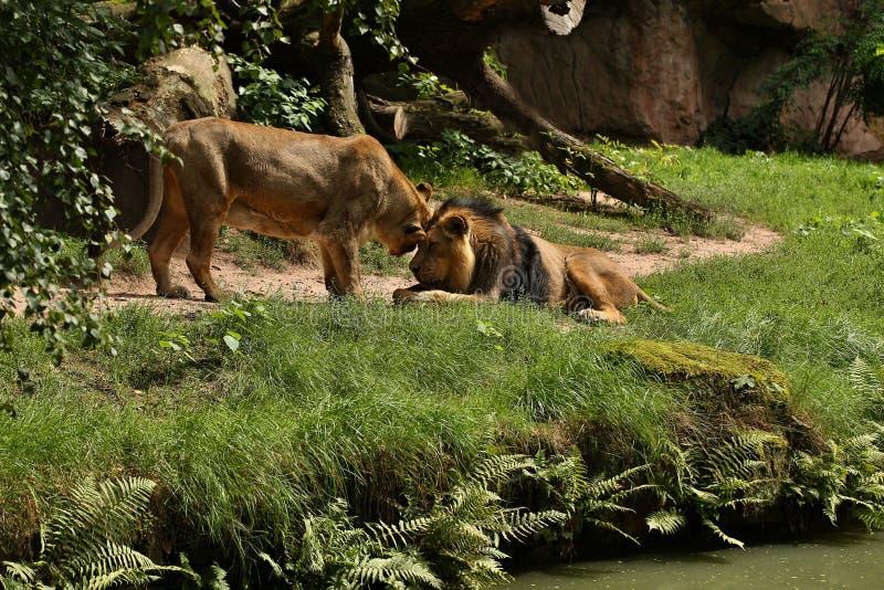 León en peligro hermoso en cautiverio foto de archivo
