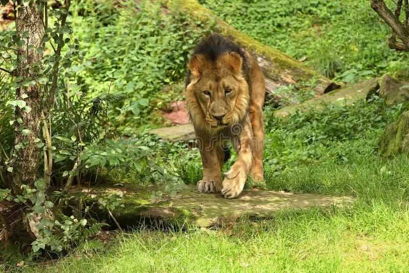 León en peligro hermoso en cautiverio foto de archivo libre de regalías