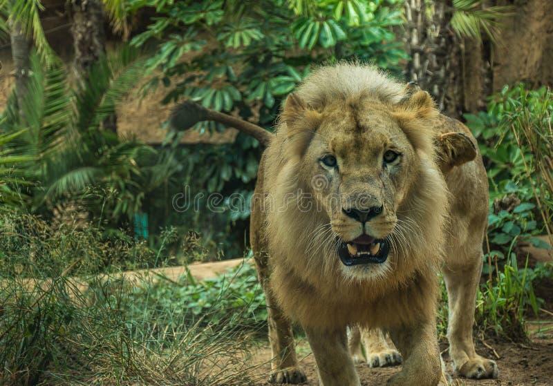 León en un parque zoológico en relativamente buenas condiciones imagen de archivo