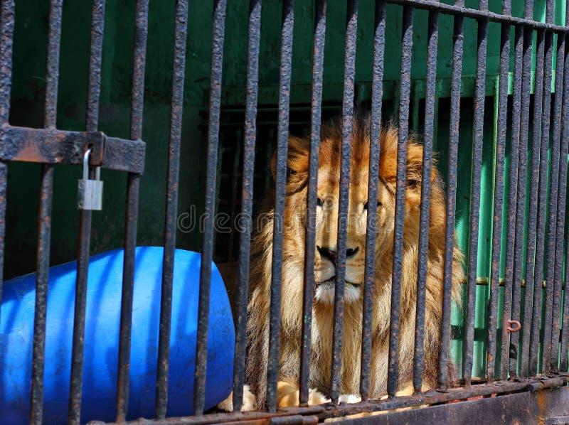 León en una jaula foto de archivo libre de regalías