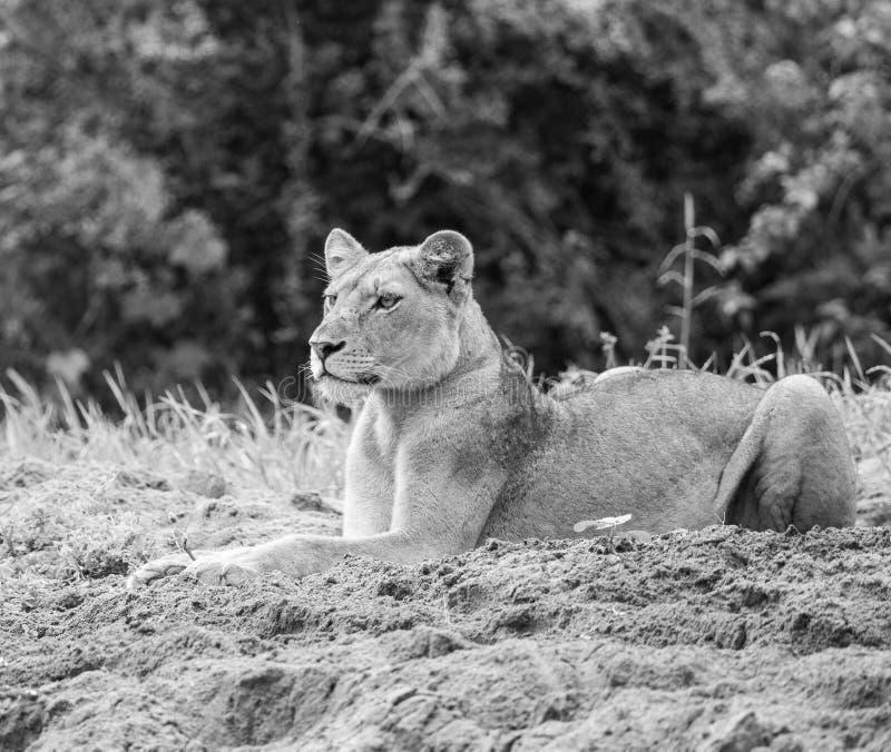 León enfocado en negro y blanco foto de archivo