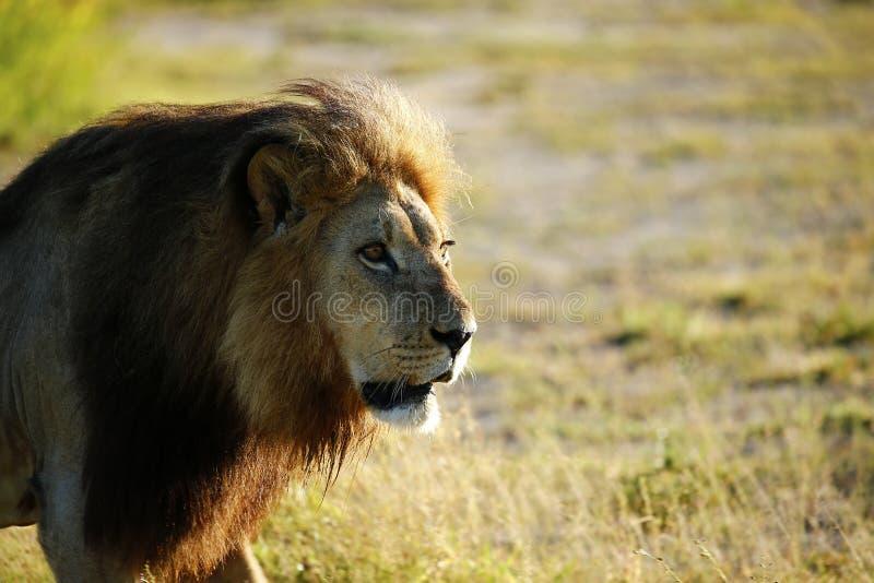 León enorme del varón de Kalahari imagen de archivo