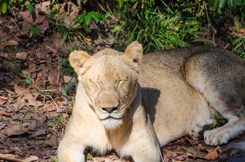 León femenino que duerme en hierba foto de archivo