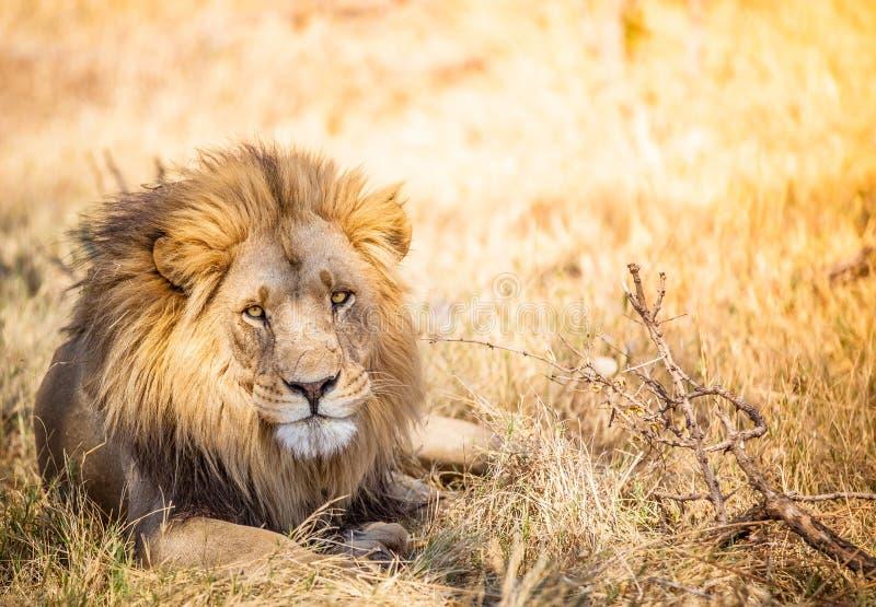 León grande en la sabana de Botswana foto de archivo