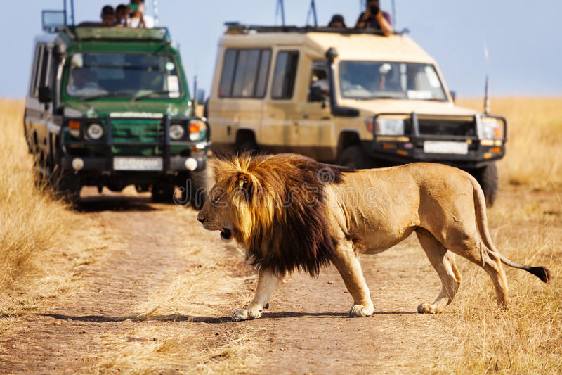 León grande que cruza el camino en la sabana africana imagenes de archivo