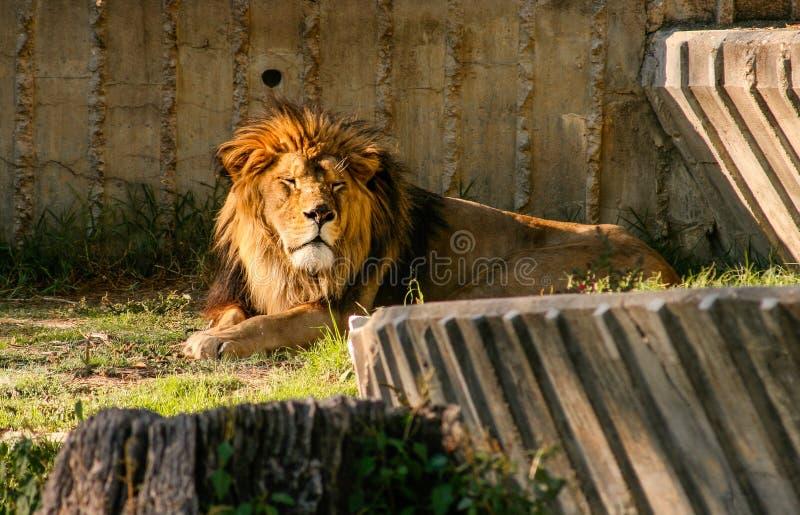 León hermoso con los ojos cerrados que descansan en la puesta del sol imagen de archivo
