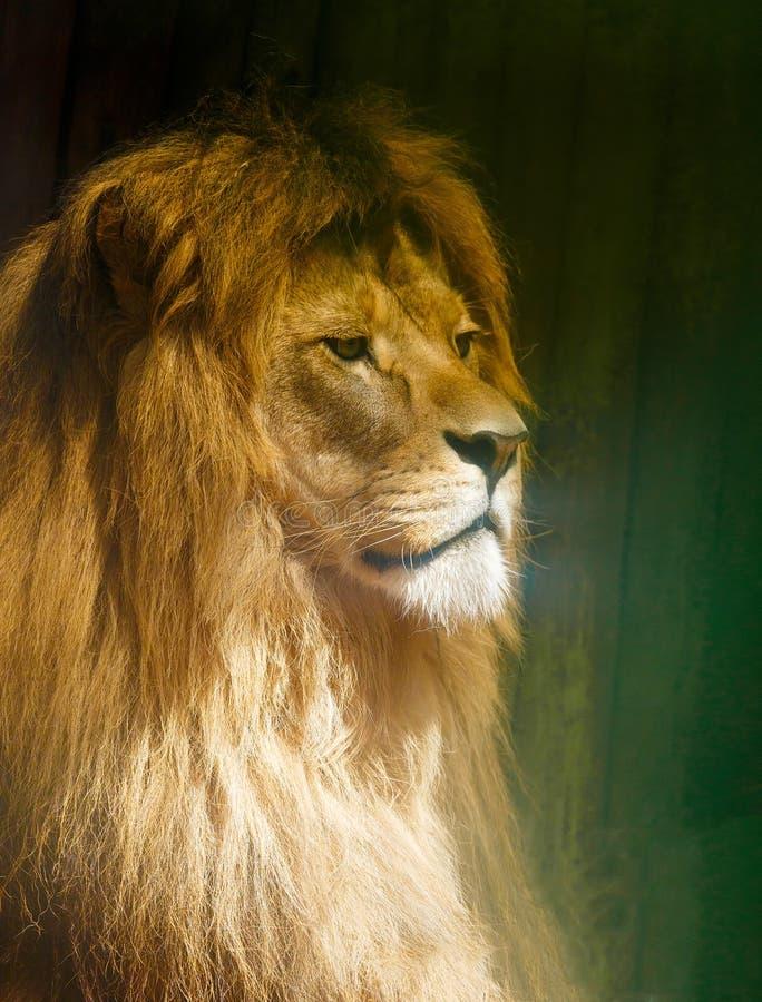 León hermoso que descansa en la sol Retrato del perfil foto de archivo libre de regalías