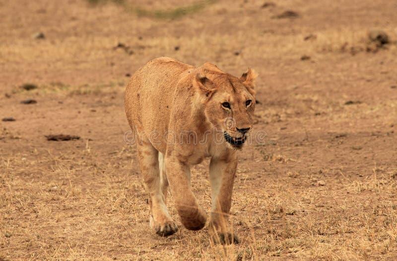 León inminente imagen de archivo