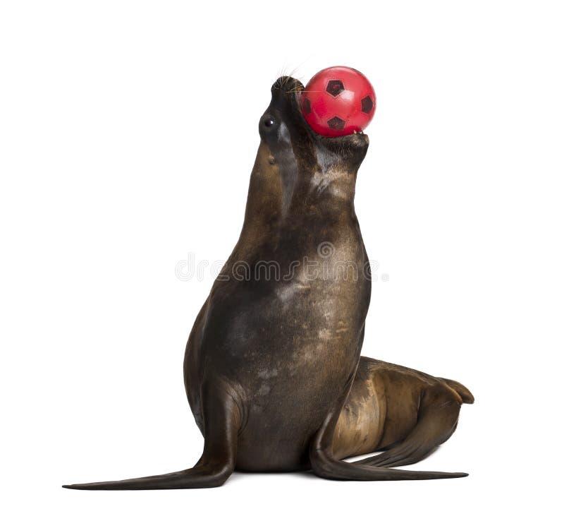 León marino de California, 17 años, jugando con la bola fotos de archivo libres de regalías