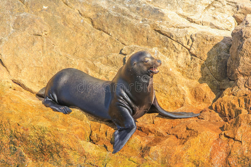 León marino de California imagen de archivo libre de regalías