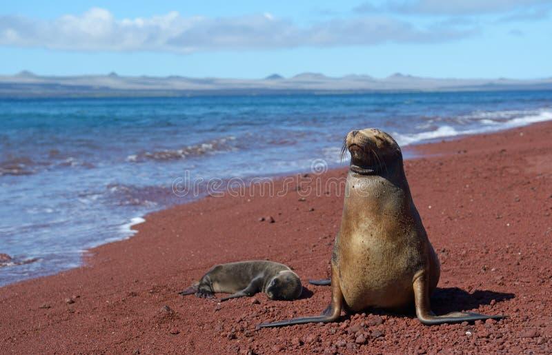 León marino de las Islas Galápagos con el cachorro 2 fotografía de archivo