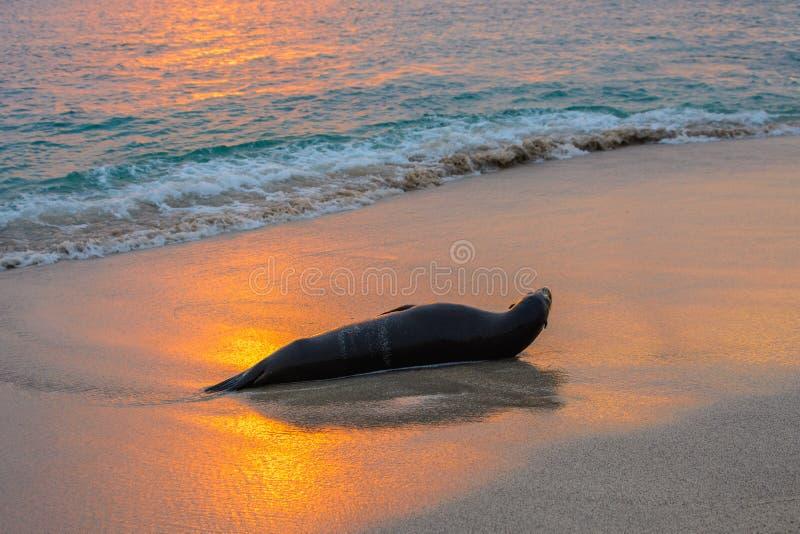 León marino de las Islas Galápagos en la playa de Punta Carola, isla de San Cristobal, Ecuador imágenes de archivo libres de regalías