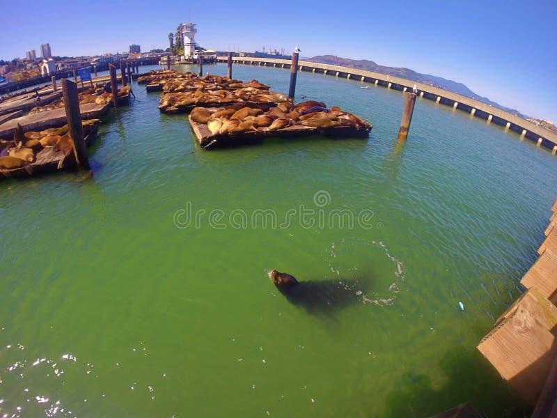 León marino del fransisco de San foto de archivo libre de regalías