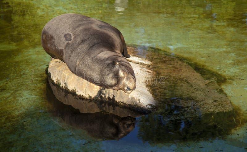 León marino dormido imagen de archivo libre de regalías
