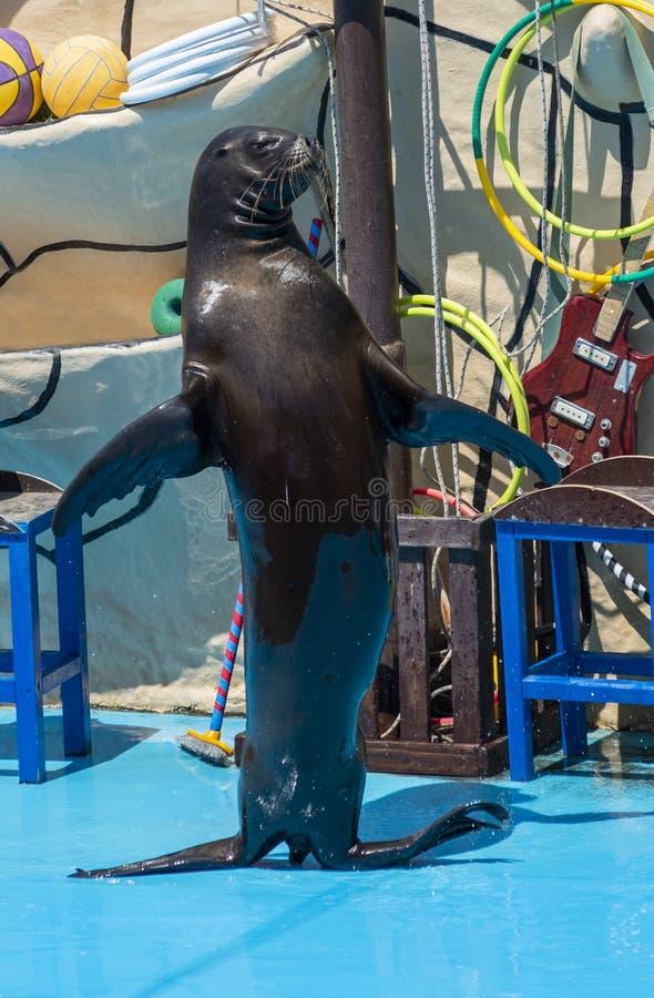 León marino en el escenario del delfinario imagen de archivo