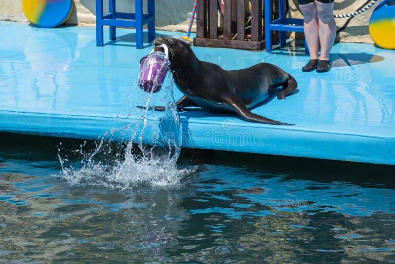 León marino en el escenario del delfinario foto de archivo