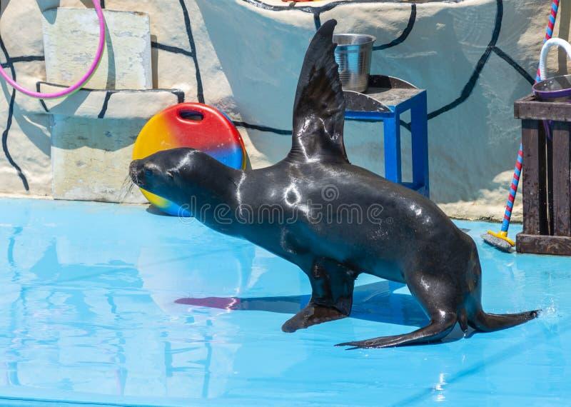 León marino en etapa en el Dolphinarium fotos de archivo