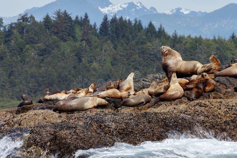León marino estelar en roca imagen de archivo
