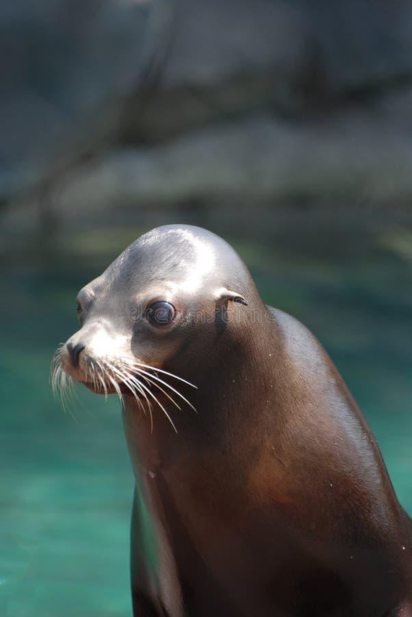 León marino joven con una cara linda imágenes de archivo libres de regalías