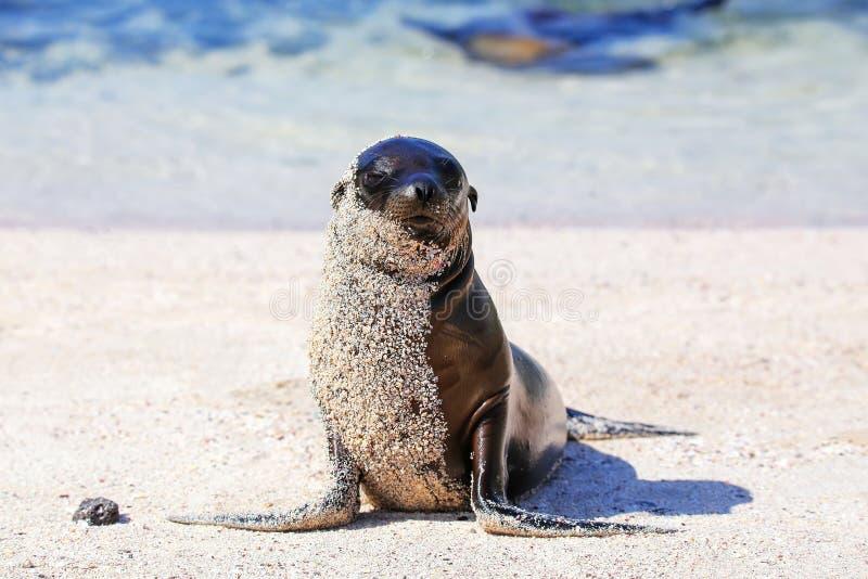 León marino joven de las Islas Galápagos en la playa en la isla de Espanola, Galapa fotos de archivo
