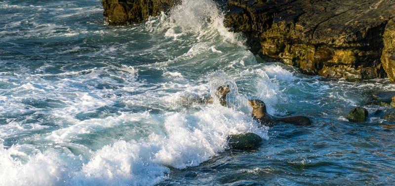 León marino que lucha cerca de la orilla Las ondas están salpicando imágenes de archivo libres de regalías
