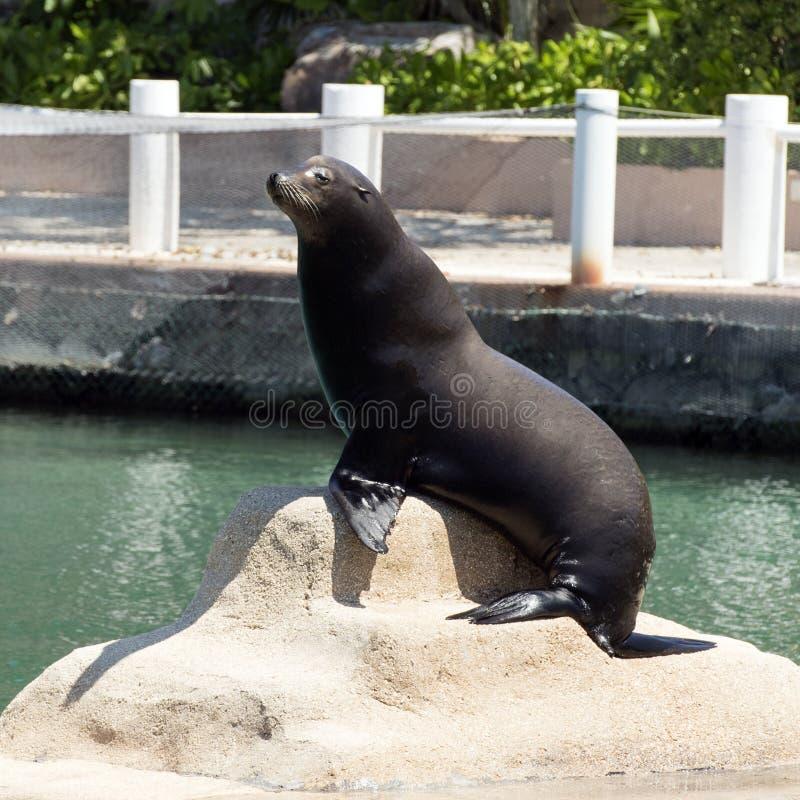León marino que presenta, Puerto Aventuras, México imagenes de archivo
