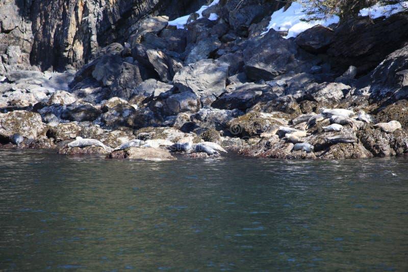 León marino, sueño, roca imagenes de archivo