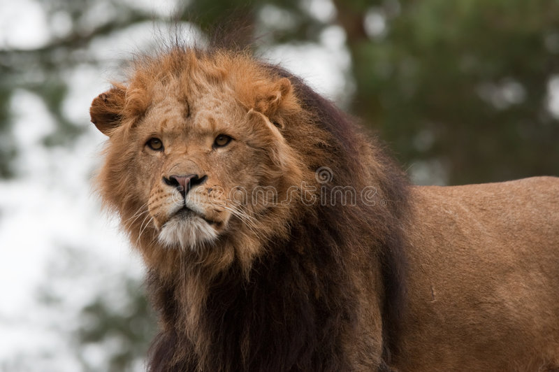 León masculino imágenes de archivo libres de regalías