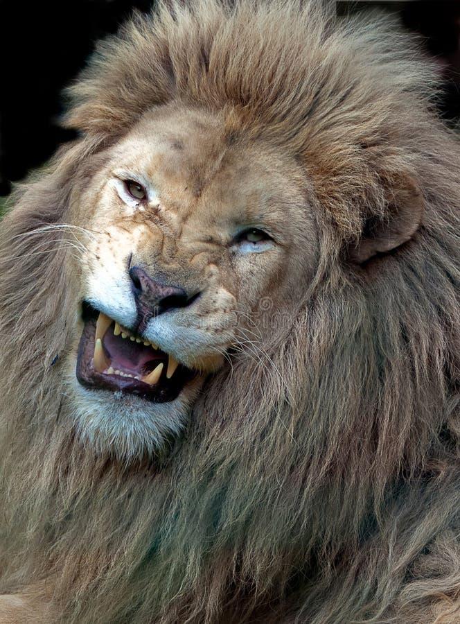 León masculino blanco enojado fotografía de archivo